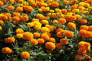 Beautiful Image Prints - Marigold Print by Atiketta Sangasaeng