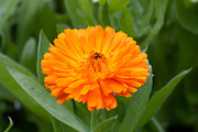 Marigold Framed Prints - Marigold Framed Print by Dawn OConnor