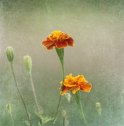 Spring Time Metal Prints - Marigold Fancy Metal Print by Kim Hojnacki