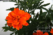Magnoliopsida Metal Prints - Marigolds Metal Print by Photo Researchers, Inc.