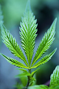 Healthcare And Medicine Art - Marijuana Leaf by Cavan Images