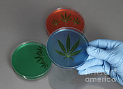 Glove Prints - Marijuana Leaves In A Petri Dish Print by Photo Researchers