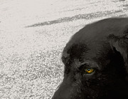 Black Lab Digital Art - Marina Dog by Janet Kearns