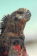 Marine Originals - Marine Iguana Head Shot by Alan Lenk