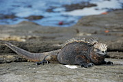 Marine Iguana Lying On Rock By Water Print by Sami Sarkis