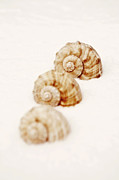Clams Framed Prints - Marine Snails Framed Print by Joana Kruse