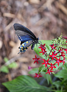 Swallowtail Photos - Mariposa by Melanie Moraga