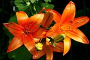 Floral Metal Prints - Marmalade Lilies Metal Print by David Dunham