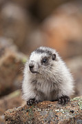 Hoary Prints - Marmot Pup Portrait Print by Tim Grams