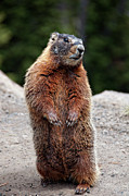 Wyoming Photo Posters - Marmot Rearing Up On Hind Legs In Yellowstone Poster by Trina Dopp Photography