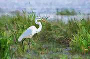 Egret Digital Art Posters - Marsh Egret Poster by Betty LaRue