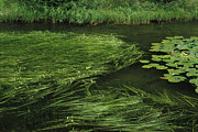 Water And Plants Art - Marsh Grasses And Pond Lilies, Isa Lake by Raymond Gehman