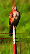 Hawk Digital Art - Marsh Hawk . Bird of Prey . Painterly by Wingsdomain Art and Photography