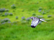 Bird Of Prey Originals - Marsh Hawk in Flight by Mike  Dawson