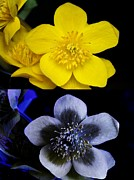 Bulls Metal Prints - Marsh Marigold In Uv Light Metal Print by Cordelia Molloy