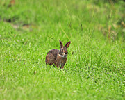 Wild Rabbit Posters - Marsh Rabbit Poster by Al Powell Photography USA