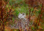 Arachnids Prints - Marsh Spider Web Print by Carol Groenen
