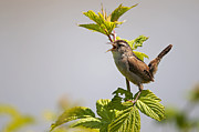 Plant Singing Metal Prints - Marsh Wren calling Metal Print by Terry Dadswell
