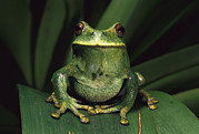 Frog Photo Posters - Marsupial Frog Gastrotheca Orophylax Poster by Pete Oxford