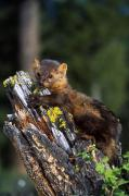Selection Posters - Marten Martes Americana On Mossy Tree Poster by Natural Selection David Ponton