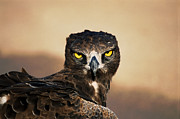 Martial Eagle Posters - Martial Eagle Portrait Poster by Joe Lategan