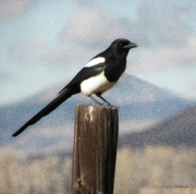 Pica Hudsonia Prints - Marty The Magpie Print by Daniel Hebard