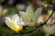Marvelous Magnolia Print by Byron Varvarigos