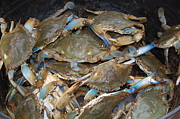 Pinchers Posters - Maryland Live Crabs Poster by Joyce Huhra