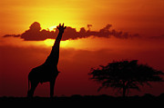 Backlighting Prints - Masai Giraffe Giraffa Camelopardalis Print by Gerry Ellis
