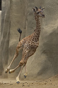 Young Giraffe Photos - Masai Giraffe Giraffa Camelopardalis by San Diego Zoo