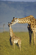 Two Animals Framed Prints - Masai Giraffe Mother And Young Kenya Framed Print by Tim Fitzharris