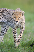 Frontal Metal Prints - Masai Mara Cheetah Cub Metal Print by Suzi Eszterhas