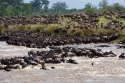 Masai Mara The Great Migration Print by Paco Feria
