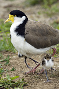 Lapwing Acrylic Prints - Masked Lapwing And Chick Acrylic Print by Tony Camacho