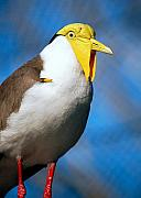 Lapwing Photos - Masked Lapwing Bird by Donna Proctor