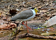 Lapwing Photos - Masked Lapwing by Double B Photography Carol Bradley