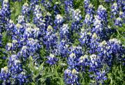 Blue Bonnets Photos - Mass of Blue Bonnets by Linda Phelps