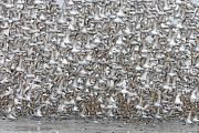 Migration Prints - Mass Takeoff- Western Sandpipers Print by Tim Grams