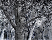 Jim Hubbard - Massachusetts-American Elm