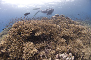 Fused Photos - Masses Of Staghorn Coral, Papua New by Steve Jones