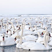 Estonia Photo Framed Prints - Massive Amount Of Swans In Winter Framed Print by Mait Juriado photo