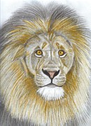 Lion Drawings Originals - Master of the Plain by Don  Gallacher