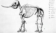 Peale Photo Posters - Mastodon Skeleton Drawing Poster by Science Source
