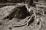 Pine Needles Photos - Mastodons Misfortune by Donna Blackhall
