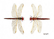 Dragonfly Painting Originals - Mated Pair of Variegated Meadowhawks by Thom Glace