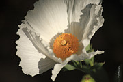 Beautiful Images Prints - Matilija Poppy  Print by Cheryl Young