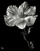 Flower Photos Framed Prints - Matilija Poppy in Black and White Framed Print by Endre Balogh
