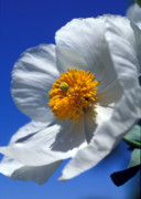 Floral Greeting Cards Prints - Matilija Poppy Print by Kathy Yates