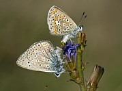 Romania Photos - Mating Common Blue Butterflies by Bob Gibbons