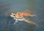 Bullfrogs Posters - Mating Frogs Poster by Leonora Bridges